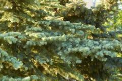 Floresta conífera ensolarada Fotografia de Stock Royalty Free