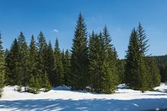 Floresta conífera na mola adiantada Céu azul brilhante fotografia de stock