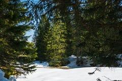 Floresta conífera na mola adiantada Céu azul brilhante fotografia de stock royalty free