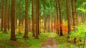 Floresta conífera no outono fotografia de stock royalty free