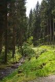 Floresta conífera no verão Foto de Stock