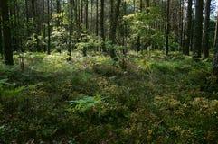Floresta conífera perto de Shatsk fotos de stock
