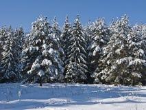 Floresta conífera sob a neve Foto de Stock Royalty Free