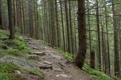 Floresta conífera velha com o musgo verde coberto com o solo de pedra imagens de stock