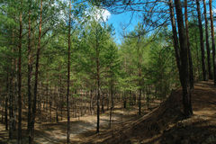 Floresta conífera iluminada na manhã Fotografia de Stock