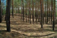 Floresta conífera iluminada pelo sol da manhã Imagem de Stock Royalty Free