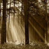 Floresta conífera iluminada pelo sol da manhã em um autu nevoento Imagens de Stock Royalty Free