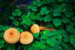 A floresta cresce rapidamente agarics falsos fotos de stock royalty free