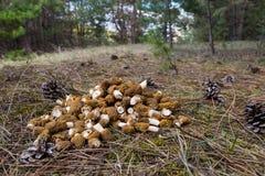 A floresta cresce rapidamente - bohemica de Verpa, morel falso imagens de stock