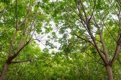 Floresta da árvore da borracha fotos de stock