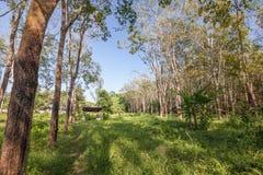 Floresta da árvore da borracha Foto de Stock Royalty Free