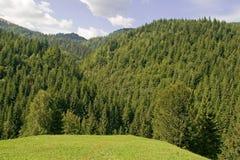 Floresta da árvore de abeto Fotografia de Stock