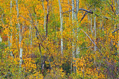 Floresta da árvore de Aspen Imagem de Stock