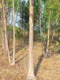Floresta da árvore de eucalipto fotos de stock royalty free