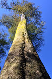 Floresta da árvore de Kahikatea, Christchurch, Nova Zelândia Fotografia de Stock