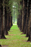 Floresta da árvore de pinho. Imagem de Stock Royalty Free