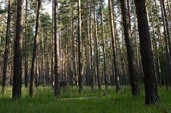 Floresta da árvore de pinho Fotografia de Stock