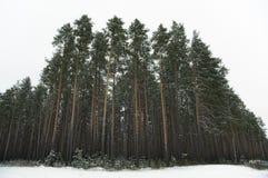 Floresta da árvore de pinho Fotografia de Stock Royalty Free