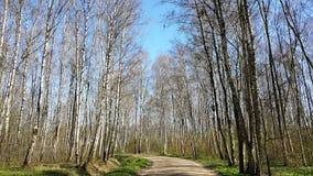 Floresta da árvore de vidoeiro no dia ensolarado Foto de Stock Royalty Free