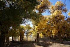 Floresta da árvore do euphratica do Populus Fotografia de Stock Royalty Free