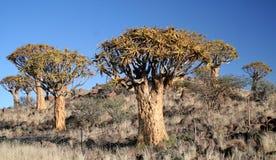 Floresta da árvore do Quiver. fotografia de stock royalty free