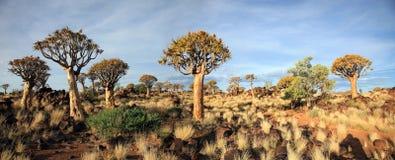 Floresta da árvore do Quiver foto de stock