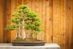 Floresta da árvore dos bonsais de Cypress calvo contra a cerca de madeira Foto de Stock