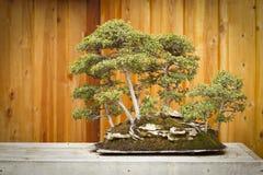 Floresta da árvore dos bonsais do olmo contra a cerca de madeira imagens de stock royalty free