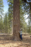 Floresta da árvore perto de Lava Butte Oregon Fotos de Stock