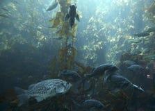 Floresta da alga do Oceano Pacífico Fotos de Stock