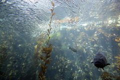 Floresta da alga do Oceano Pacífico Imagens de Stock Royalty Free