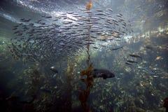 Floresta da alga do Oceano Pacífico Foto de Stock