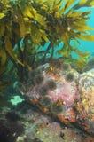 Floresta da alga na água pouco profunda Fotografia de Stock