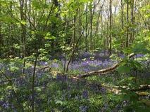 Floresta da campainha Fotografia de Stock