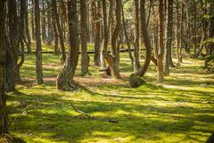 Floresta da dança no cuspe de Curonian na região de Kaliningrad em Rússia foto de stock royalty free