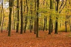 Floresta da faia Fotos de Stock Royalty Free