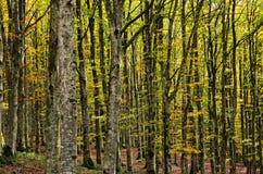 Floresta da faia Fotografia de Stock Royalty Free