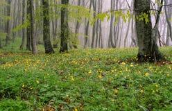 Floresta da faia Foto de Stock Royalty Free