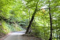 Floresta da faia com um trajeto no meio Imagens de Stock