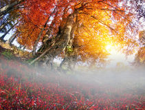 Floresta da faia do ouro Foto de Stock