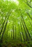 Floresta da faia na mola Fotografia de Stock Royalty Free
