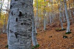Floresta da faia no outono imagens de stock
