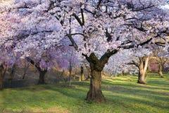 Floresta da flor de cereja Fotografia de Stock