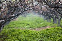 Floresta da flor do pêssego Imagem de Stock