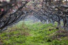 Floresta da flor do pêssego Fotos de Stock Royalty Free