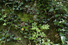 Floresta da hera Foto de Stock