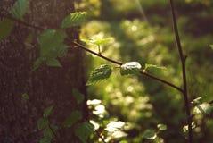 Floresta da manhã, ramo com folhas Fotos de Stock