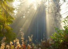 Floresta da manhã Fotografia de Stock