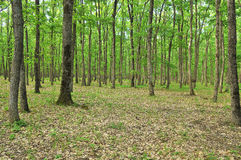 Floresta da mola Imagem de Stock Royalty Free