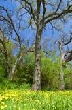 Floresta da mola Imagens de Stock